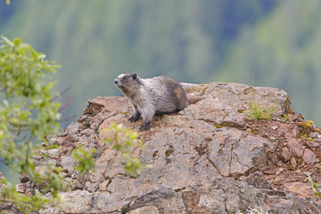 hoary: Hoary Marmot on a Mountain Outcrop in the Coastal Range of British Columbia Stock Photo
