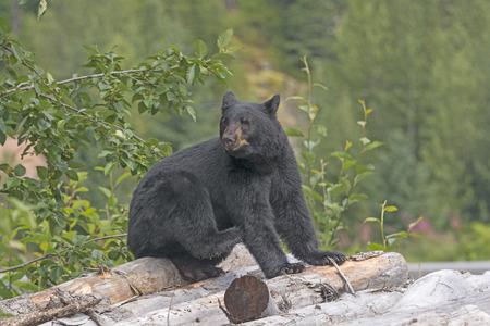 oso negro: Oso negro en una pila de madera en cerca de Hyder, Alaska