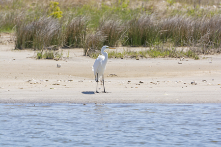 hatteras: Great Egret on a wetland Beach in Pea Island National Wildlife Refuge on Cape Hatteras in North Carolina Stock Photo