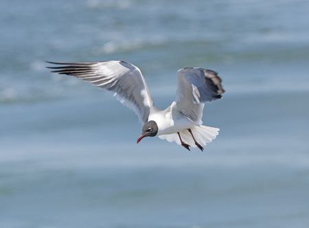 hatteras: Laughing Gull in Flight near Cape Hatteras in North Carolina Stock Photo