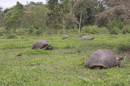 tortuga: Galápagos tortugas gigantes en un campo en la Isla Santa Cruz