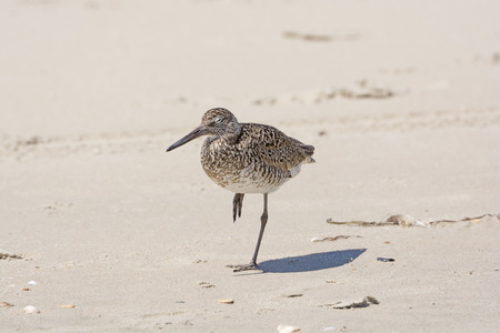 hatteras: Stilt Sandpiper Sleeping on the shore of the Outer Bank on Ocracoke Island in North Carolina