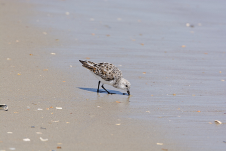hatteras: semipalmated sandpiper Feeding on theshore of Ocracoke Island in the Outer Banks of North Carolina Stock Photo