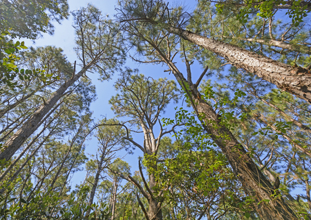 hatteras: Looking up into the Pines on the Hammock Hills Nature Trail on Ocracoke Island in North Carolina