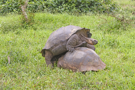 mounting: Young Male Tortoise Mounting the wrong end of a Female on Santa Cruz Island in the Galapagos