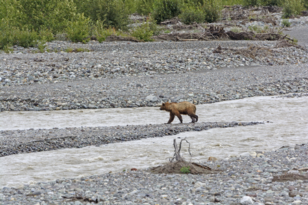 duke: Grizzly Bear Crossing the Duke River in the Yukon Territory Stock Photo