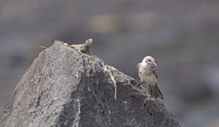 mockingbird: Strange Bedfellows on a Rock.  A Lava LIzard and a Mockingbird together in the Galapagos