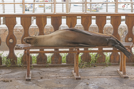 island: Sea Lion Resting on a Park Bench on San Cristobal Island in the Galapagos
