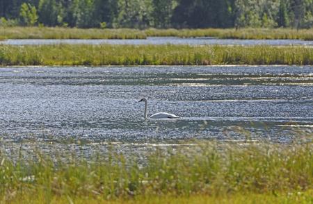trumpeter swan: Trumpeter Swan on a Tern Lake in the Kenai Peninsula in Alaska