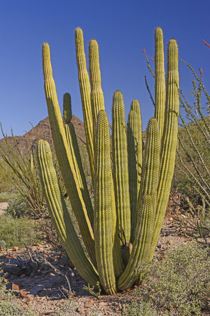 Organ Pipe Cactus in the Desert of Southern Arizona in Organ Pipe Cactus National Monument