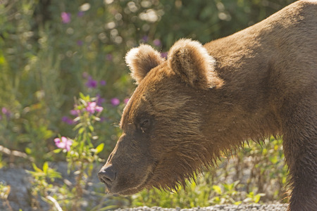 omnivore animal: Grizzly Bear in the Wilds on Lake Crescent in Lake Clark National Park in Alaska