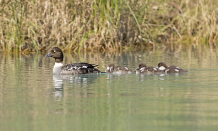crescent lake: Barrows Goldeneye Mother and Ducklings on the Crescent River in Lake Clark National Park in Alaska Stock Photo