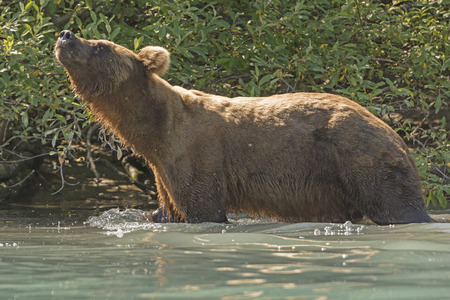 omnivore animal: Grizzly Bear Sniffing the Air on the Shore of Crescent Lake in Lake Clark National Park in Alaska