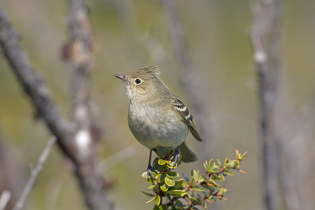 patagonian: White-crested Elaenia in the Patagonian Andes or Argentina