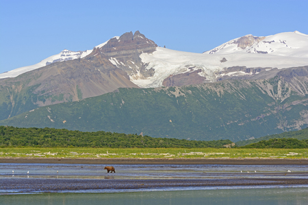 hallo: Grizzly Bear Bear Walking on a Tidal Flat Beneath the Mountains in Hallo Bay of Katmai National Park in Alaska Stock Photo