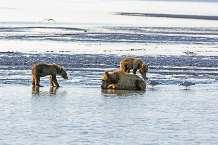 hallo: Mother Bear and Cubs on a Tidal Flat in Hallo Bay in Katmai National Park in Alaska Stock Photo