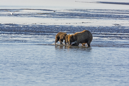 hallo: Mother and Baby Bear Feeding on Salmon in Hallo Bay in Katmai National Park in Alaska