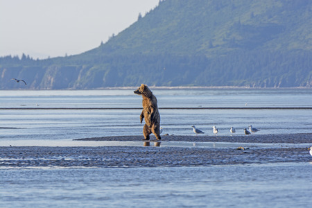 katmai: Grizzly standing to check out his surroundings in Hallo Bay in Katmai National Park