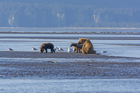 hallo: Mother Bear and Cubs on a Mudflat on Hallo Bay in Katmai National Park in Alaska