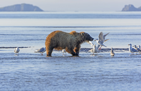 hallo: Bear and the Gulls in Hallo Bay in Katmai National Park in Alaska