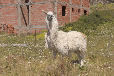 chalten: Llama waiting at the Edge of El Chalten in Argentina