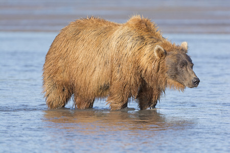 katmai: Grizzly Looking for Salmon in Estuary in Hallo Bay in Katmai National Park Stock Photo