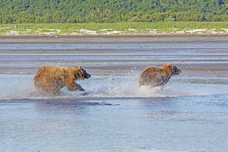 hallo: Grizzly Chasing off a Competitor in Hallo Bay in Katmai National Park in Alaska Stock Photo