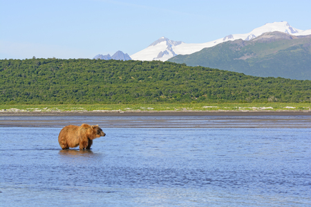 hallo: Grizzly Waiting for Lunch in Hallo Bay in Katmai National Park in Alaska