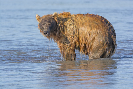katmai: Grizzly Dripping from Fishing in the Water in Hallo Bay in Katmai National Park in Alaska Stock Photo
