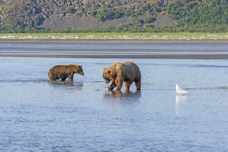 hallo: Bear Looking to steal a fish from Another in Hallo Bay in Katmai National Park in Alaska