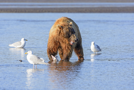 hallo: Bear Watching for Competitors while eating in Hallo Bay in Katmai National Park in Alaska