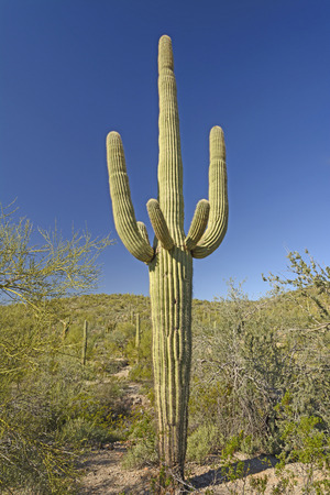 carnegiea: Classic Saguaro Cactus in the Organ Pipe National Monument in Arizona Stock Photo