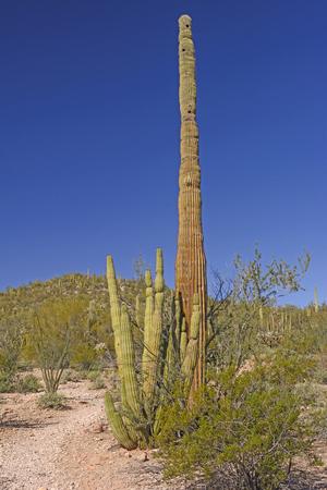 carnegiea: Organ Pipe and Saguaro Cactus Together in Organ Pipe National Monument in Arizona