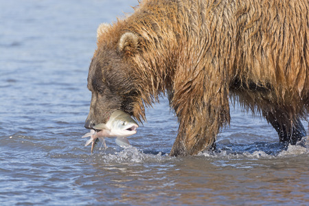 hallo: Grizzly Bear with a Fish in His Mouth in Hallo Bay of Katmai National Park in Alaska Stock Photo