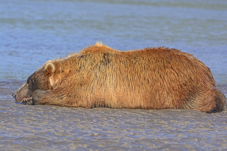 hallo: Bear Sleeping on a Sandbar after a Good Meal in Hallo Bay in Katmai National Park in Alaska