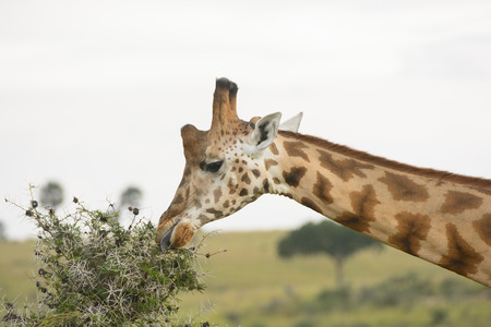 acacia tree: Rothchilds Giraffe eating from an Acacia Tree in Murchison Falls National Park in Uganda Stock Photo