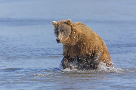 hallo: Grizzly Bear about to Pounce on a Fish in Hallo Bay in Katmai Naitonal Park in Alaska Stock Photo