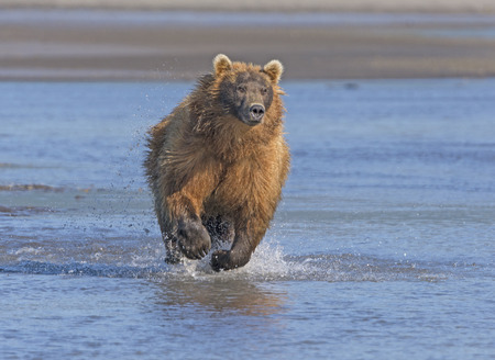 katmai: Grizzly Running after its Prey in Hallo Bay in Katmai National Park in Alaska Stock Photo