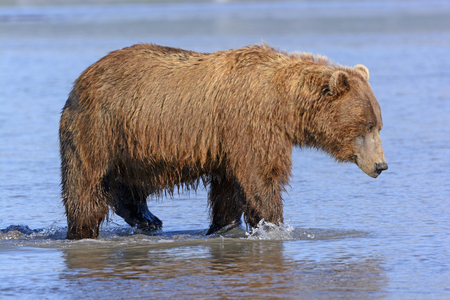 hallo: Grizzly on the Prowl in an Estuary in Hallo Bay of Katmai National Park in Alaska Stock Photo