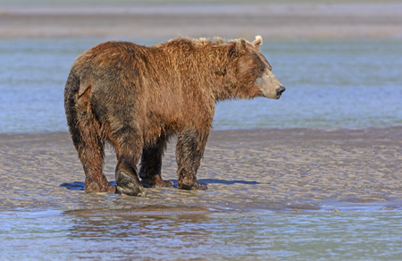 hallo: Grizzly Profile on a Mudflat in Hallo Bay in Katmai National Park in Alaska