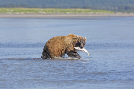 hallo: Grizzly with Salmon in Hallo Bay in Katmai National Park in Alaska