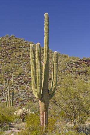 carnegiea: Saguaro Cactus in the Desert Mountains of Organ Pipe National Monument in the Sonoran Desert of Arizona