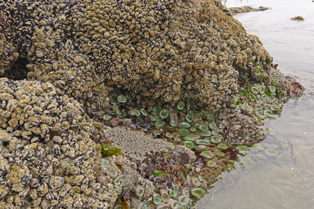 barnacles: Barnacles, Clams, and Anemones at Low Tide on the Coast of Oregon near Cape Arago