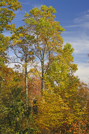 tall tree: Tall Tree in Fall Colors in Shenandoah National Park in Virginia Stock Photo