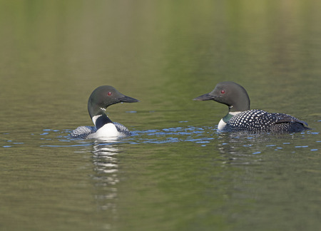 togther: Loons Meeting on Waterfowl Lakes Lake in the Kenai National Wildlife Refuge in Alaska