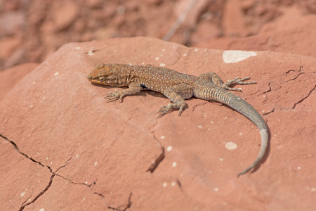 herpetology: Common Side-Blotched Lizard in the Desert near Lees Ferry in the Glen Canyon National Recreation Area in Arizona Stock Photo