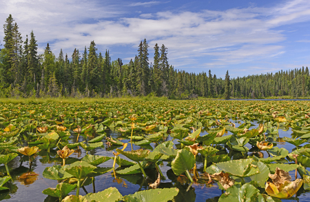 refuge: Water Lilies on a Sunny Day in Canoe Lake of the Kenai Wildlife Refuge in Alaska
