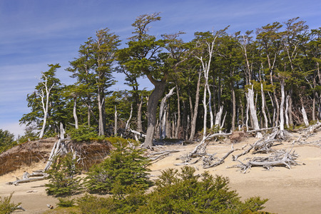 los glaciares: Windblown Beech Forest in the Patagonian Highlands of Los Glaciares National Park in Argentina