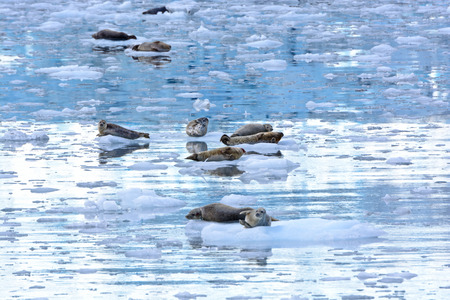 pinniped: Harbor Seals in an icy filled bay near the Surprise Glacier in Prince William Sound Stock Photo