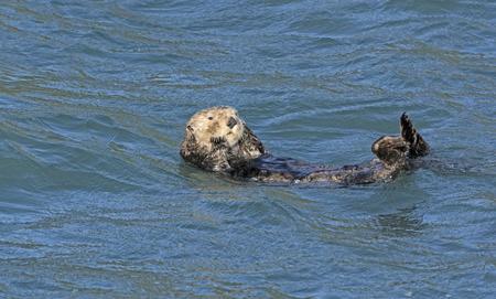 preening: Sea Otter Preening in the Ocean in Kenai Fjords National Park in Alaska Stock Photo